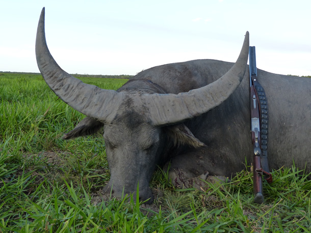 water buffalo Hunting in Australia