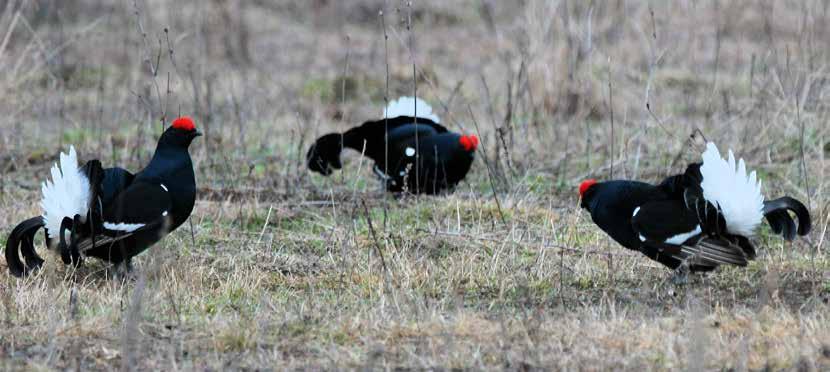 black grouse Hunting in Russia - Kurgan
