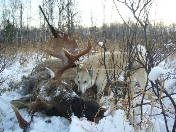 moose Hunting in Russia - Perm