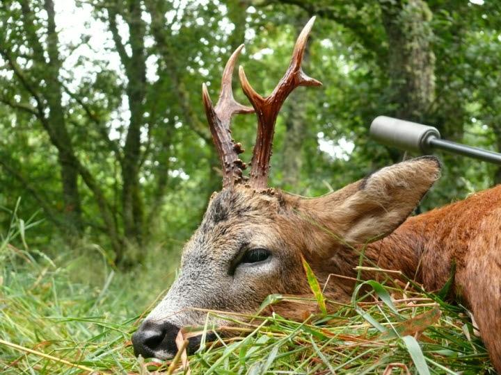 roe buck Hunting in Scotland