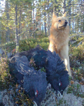 capercaille Hunting in Sweden