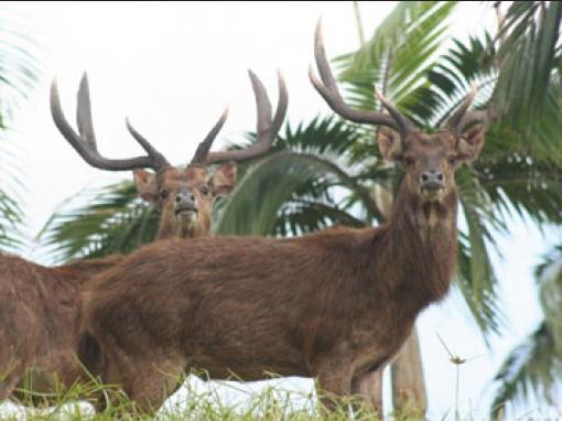 Rusa Hunting in Mauritius